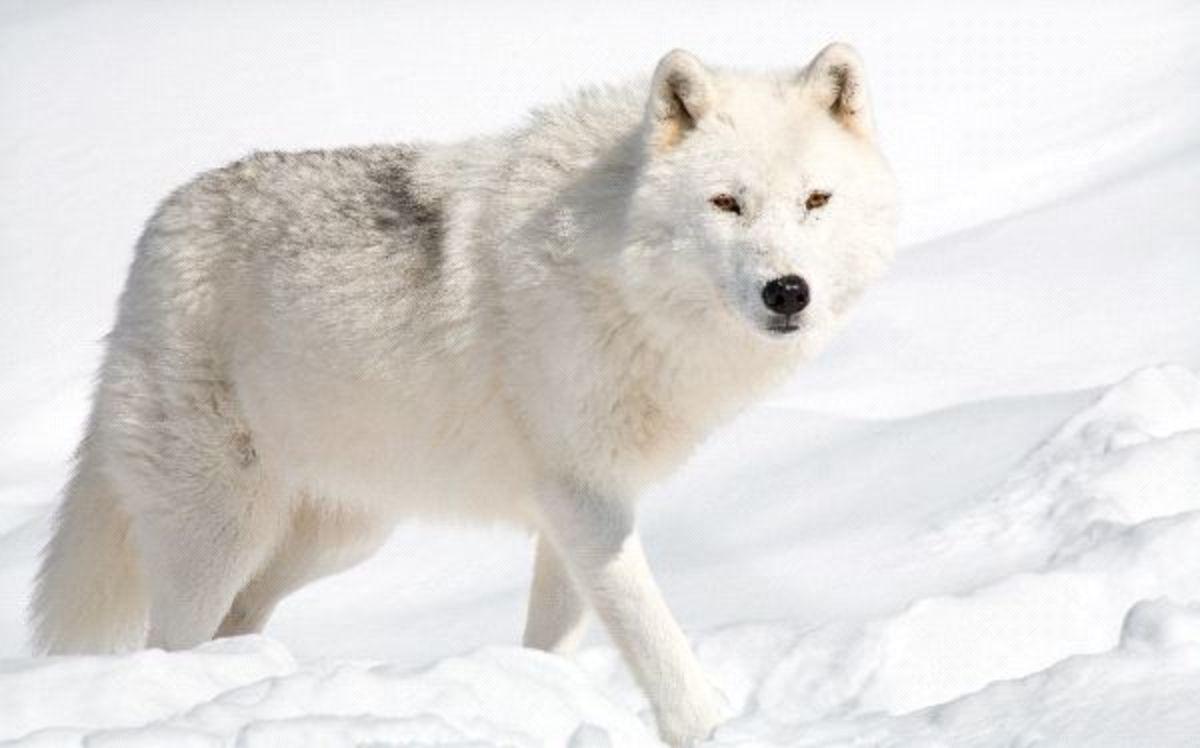 Rare Alaskan Wolf