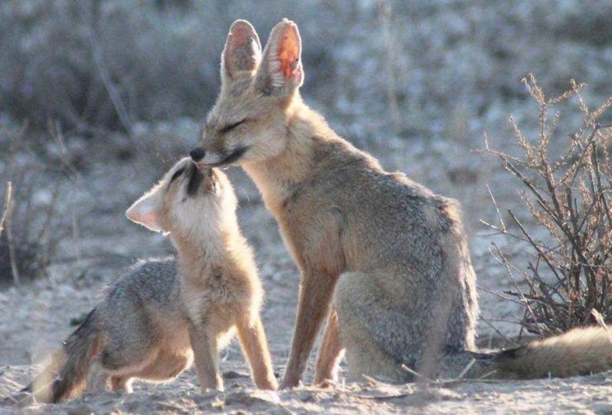 The Cape Fox or Maltose