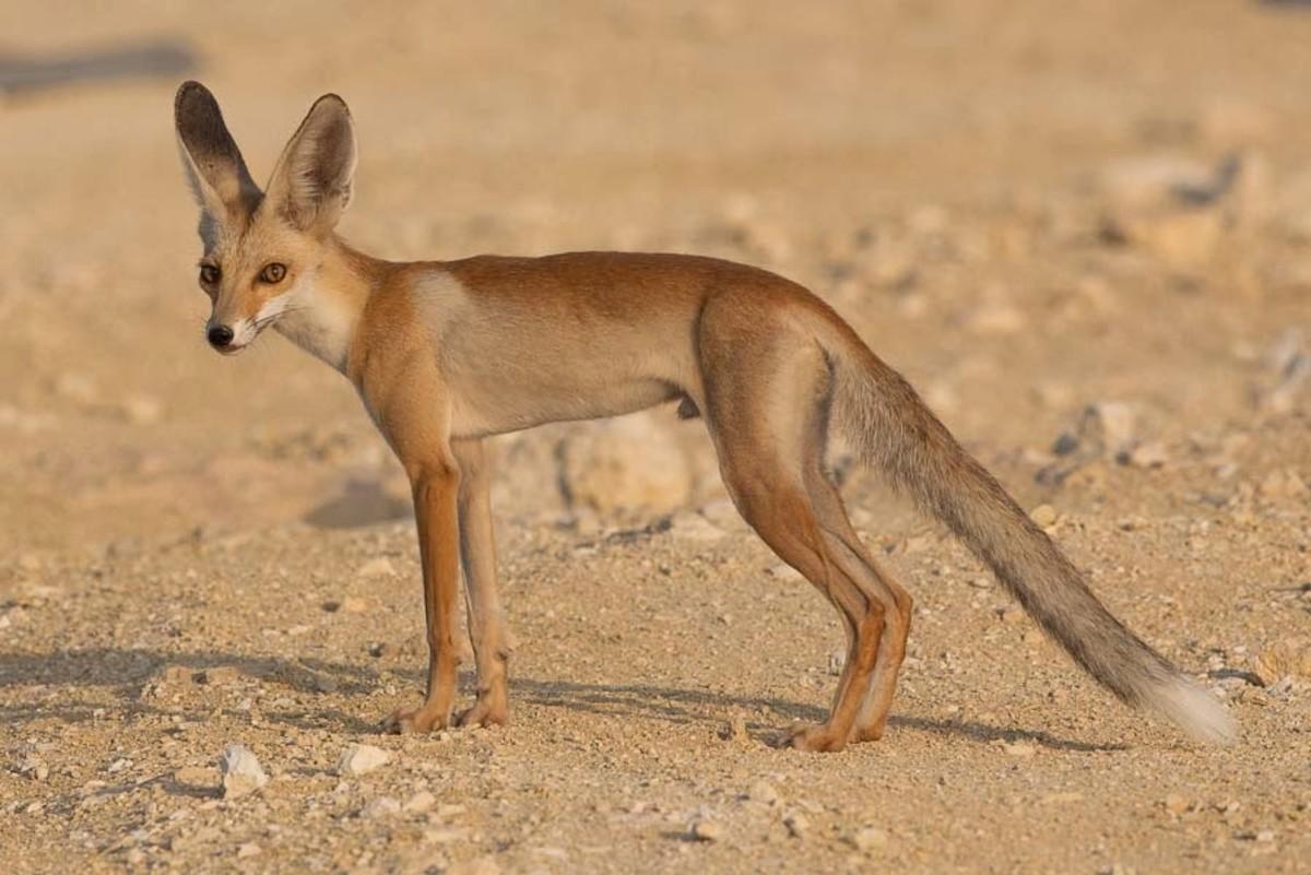 Arabian Red Fox
