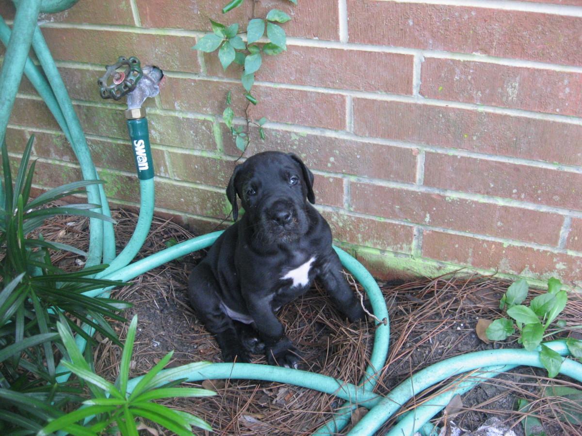 Shylock - 5 weeks old