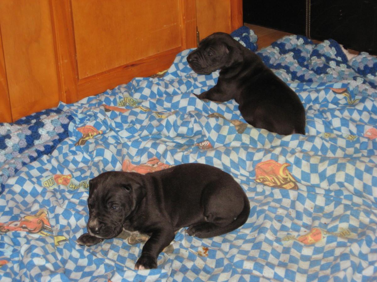 Black Great Dane Puppies