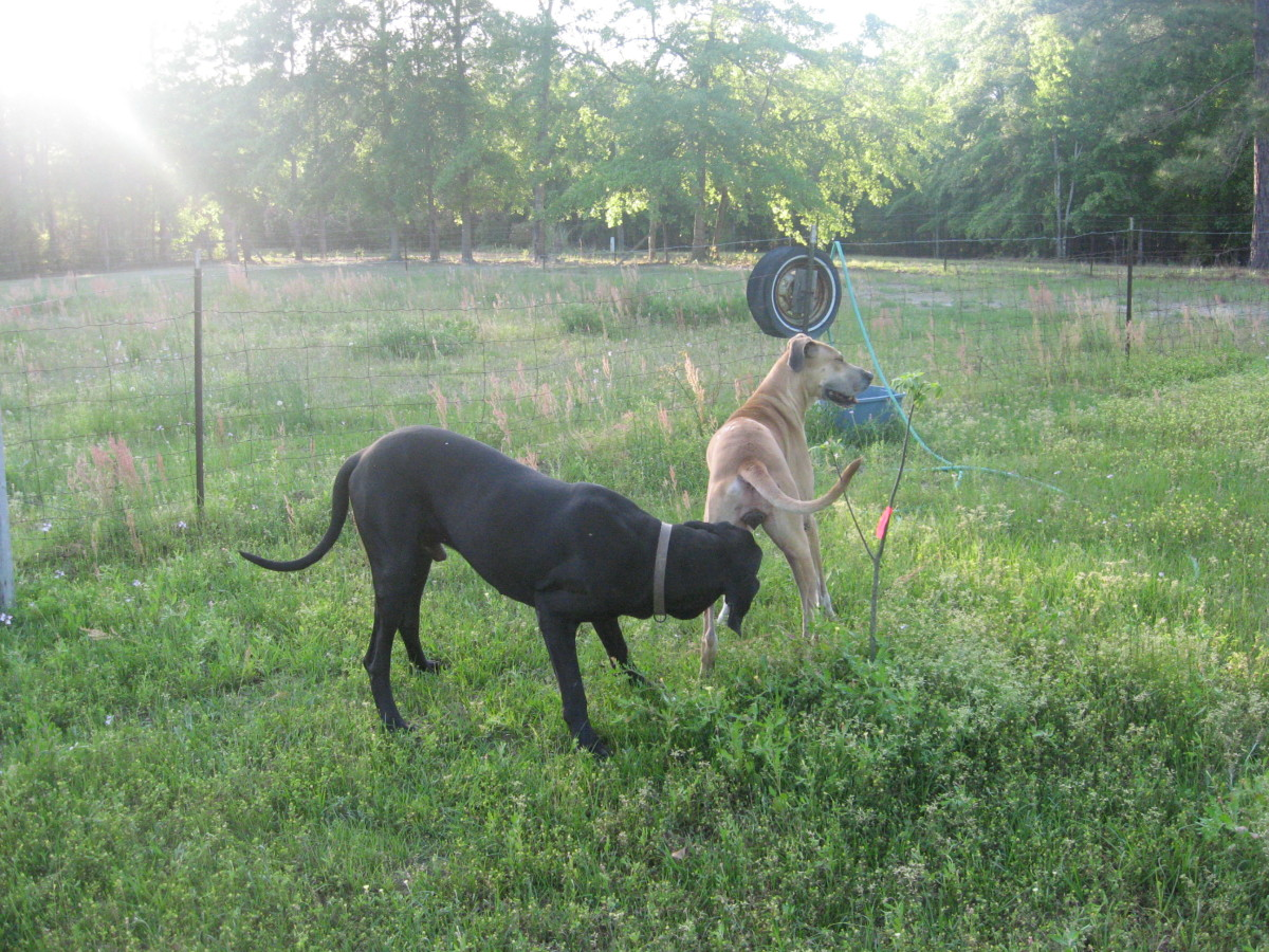 Kayla and Seven, the father dog, a black Great Dane