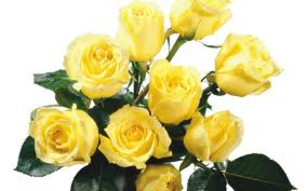 Yellow roses are used to brighten up someone's day or sent for good luck and congratulations