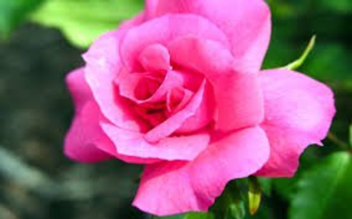 Light pink roses are for admiration and dark pink is for gratitude