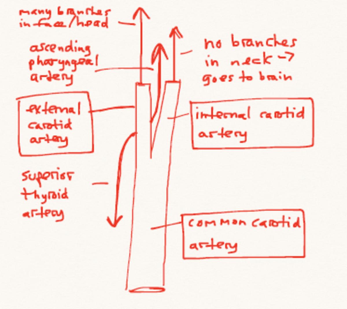 human-anatomy-lesson-19
