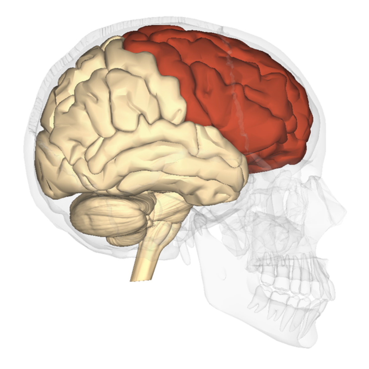 The frontal lobes of the human brain