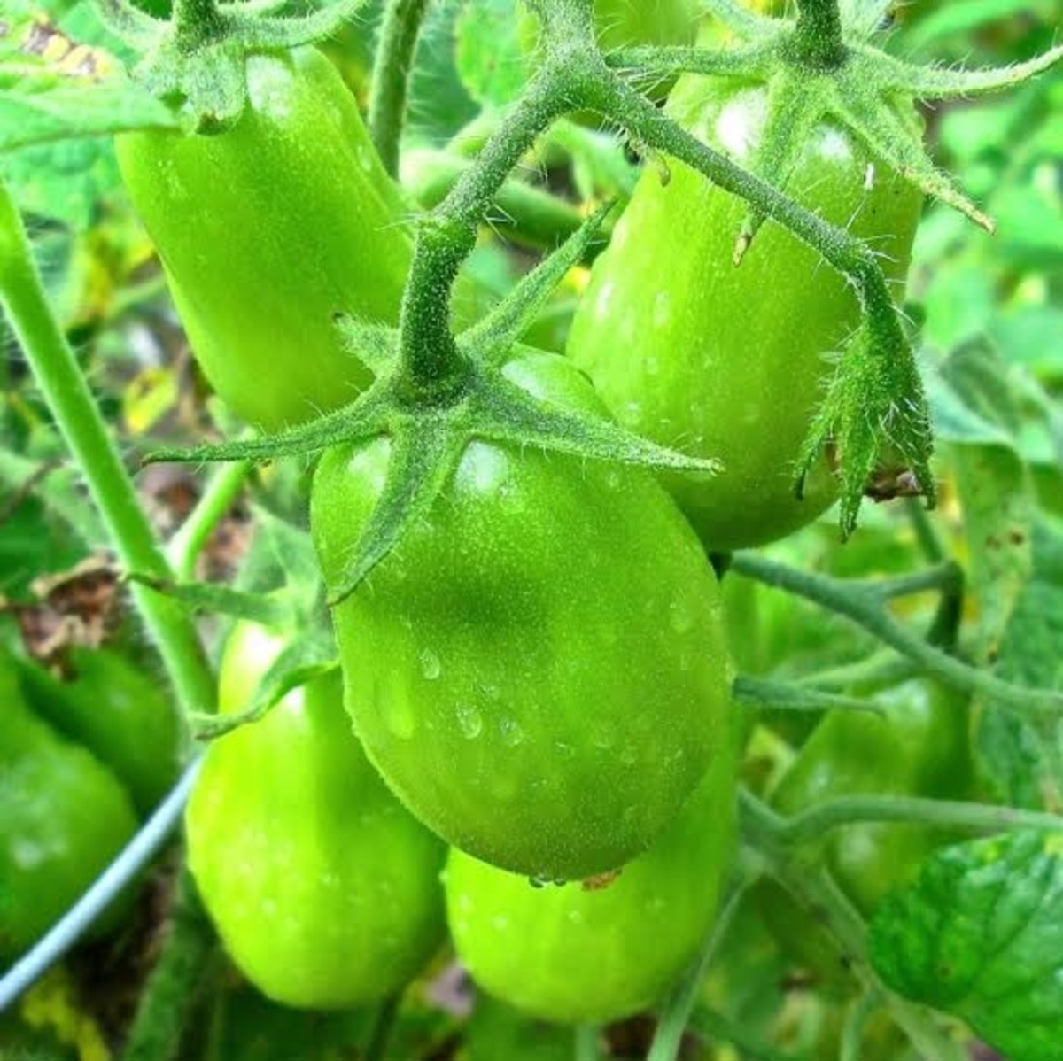Green Roma Tomatoes