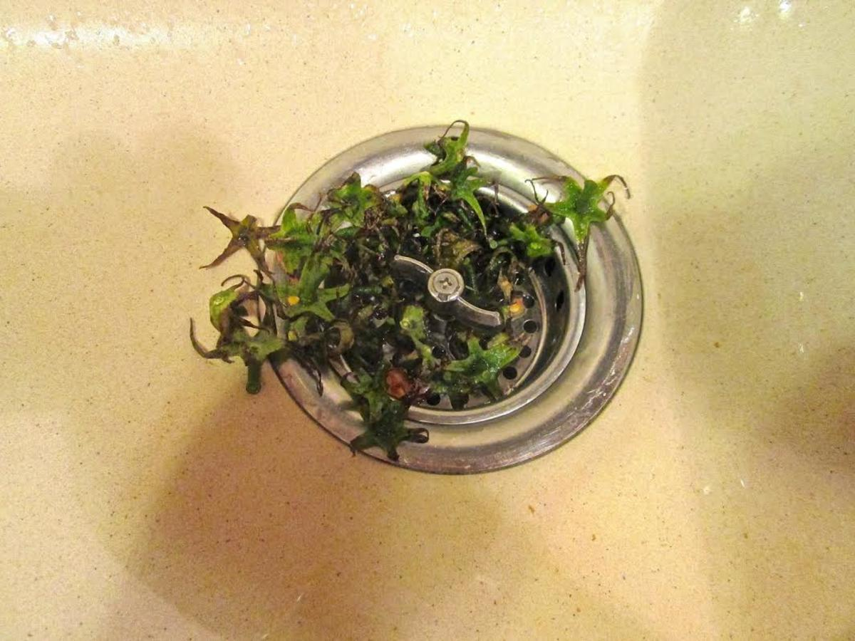 Stems of tomatoes in kitchen sink drain.