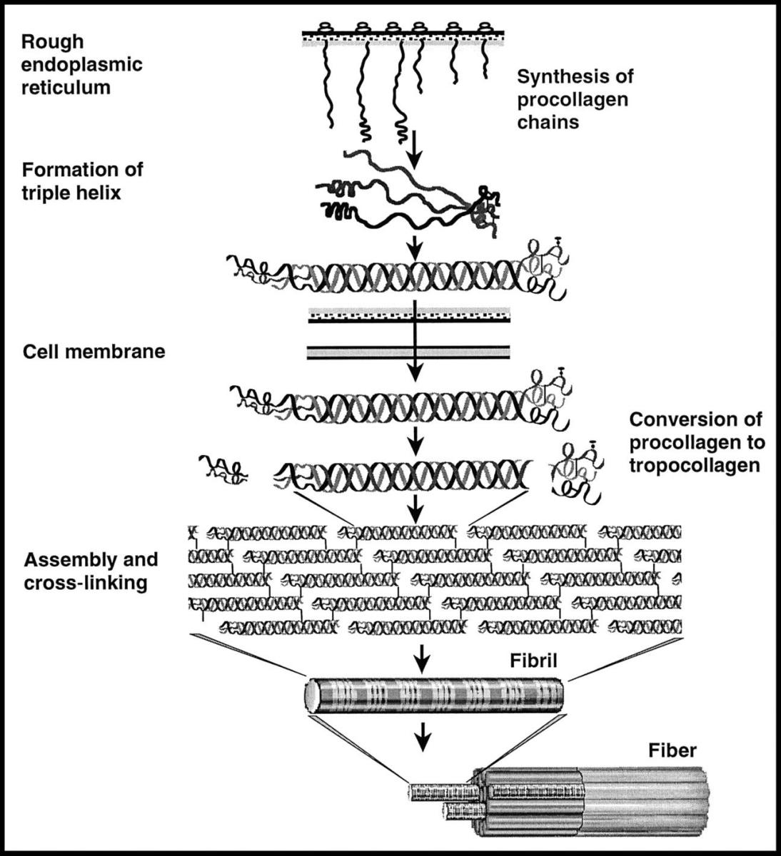 How the collagen protein is assembled from mRNA to a fiber.