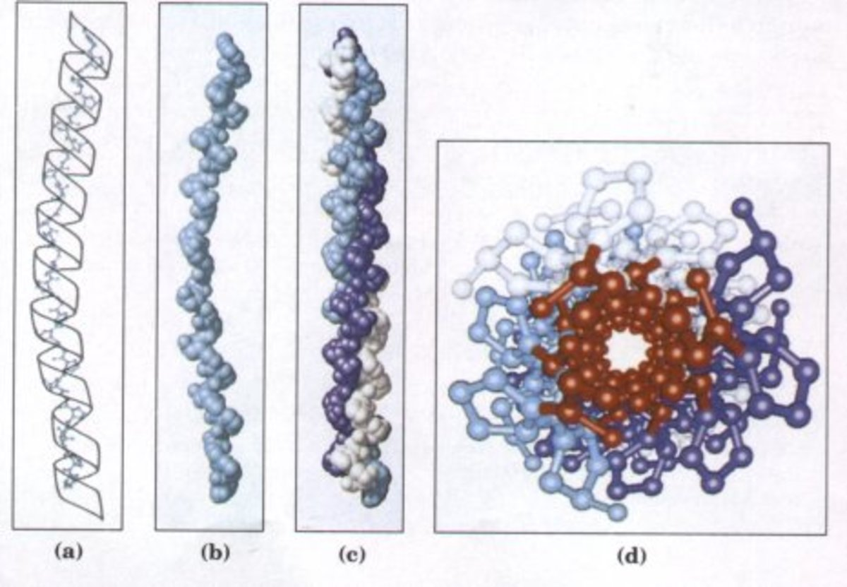 3D Structure of Collagen