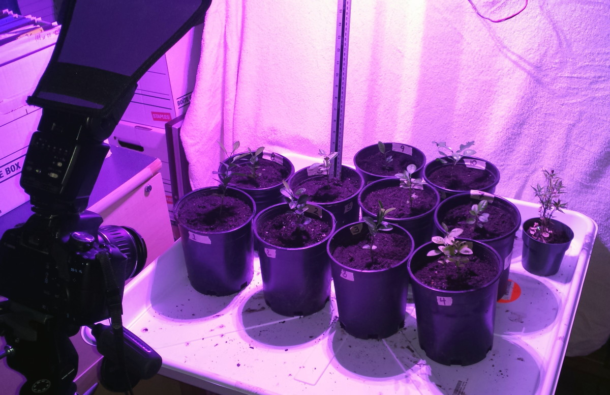 Transplanting the growing plants required a completely new setup.