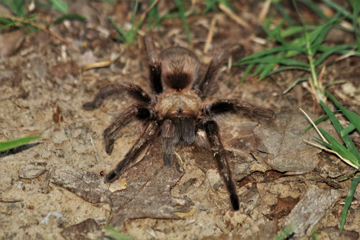 Female Tarantula Spider