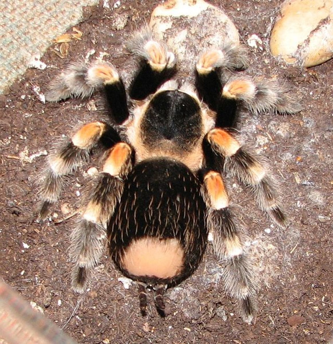 "Bald area is where the tarantula has ""flung"" its spiny, needle-like hairs at a predator."