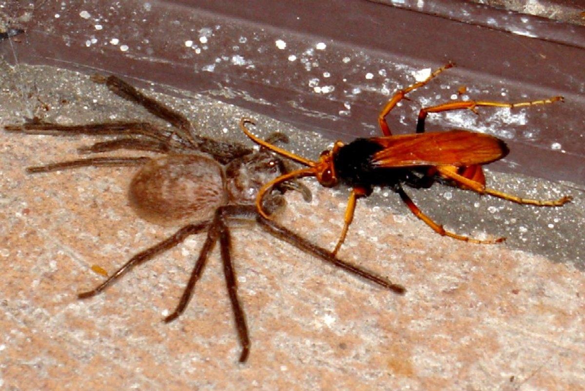 Spider wasp with paralyzed huntsman spider.