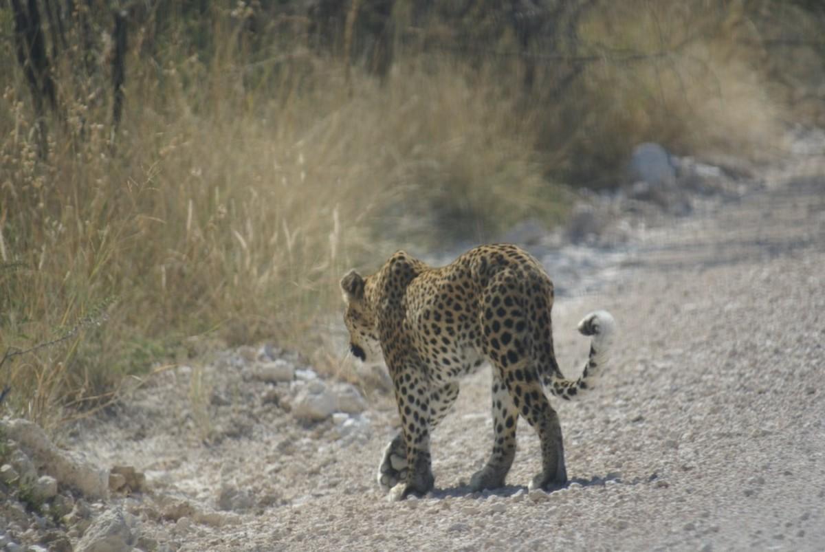 Leopard near Etosha