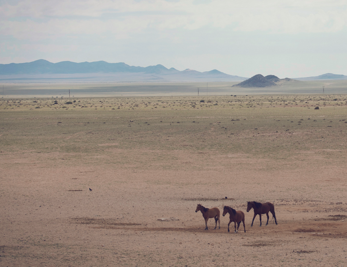 Wild horses of Aus. Leaving the water hole at sunset, and on their way to cross the road.