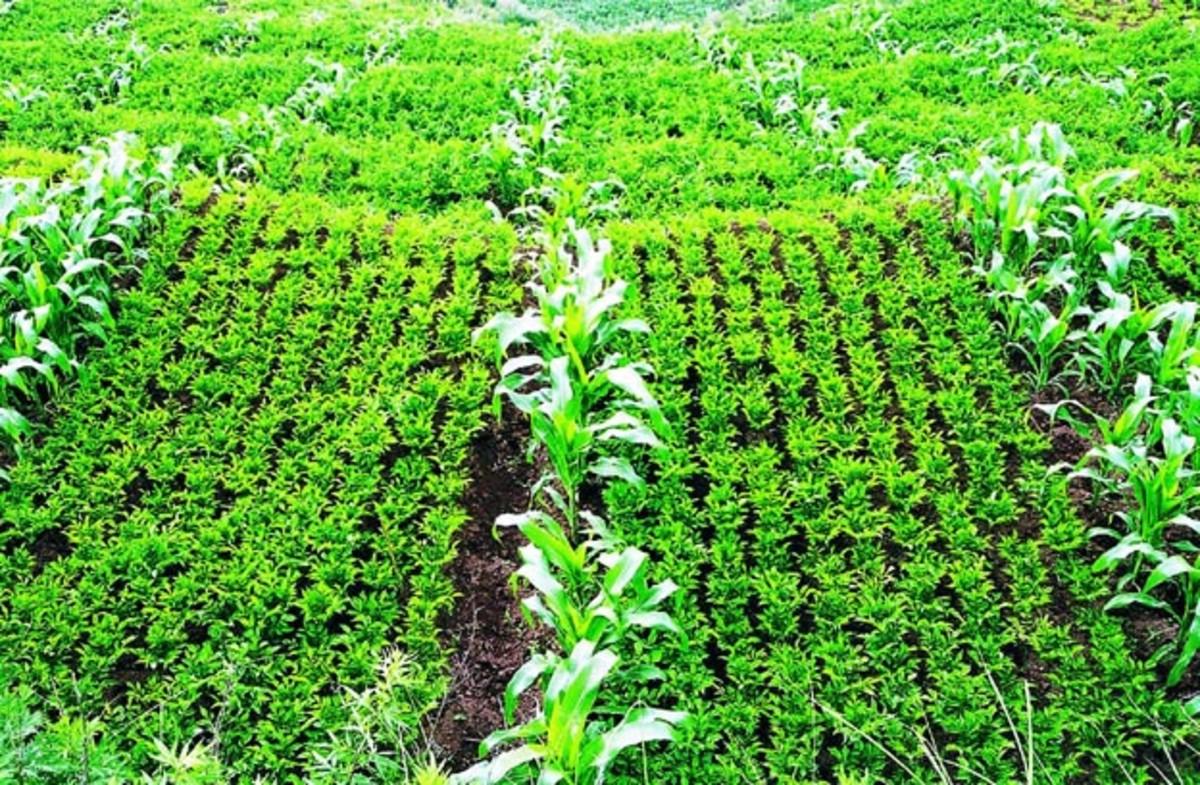 Intercropping