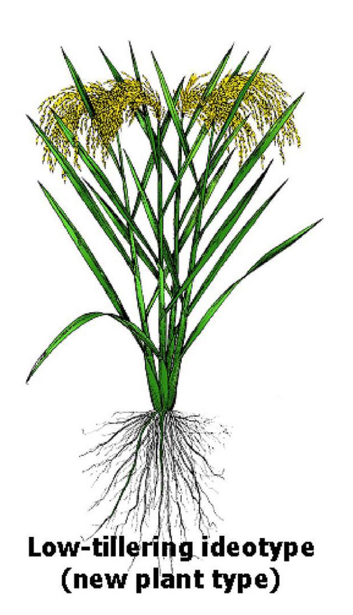 Rice new plant type
