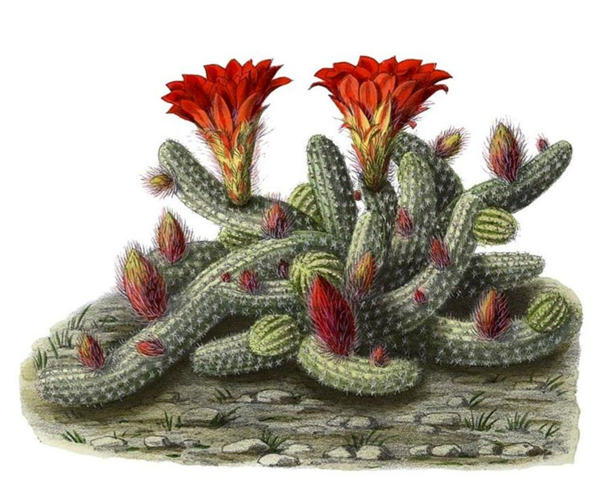 The Peanut Cactus is easy to grow and get to bloom