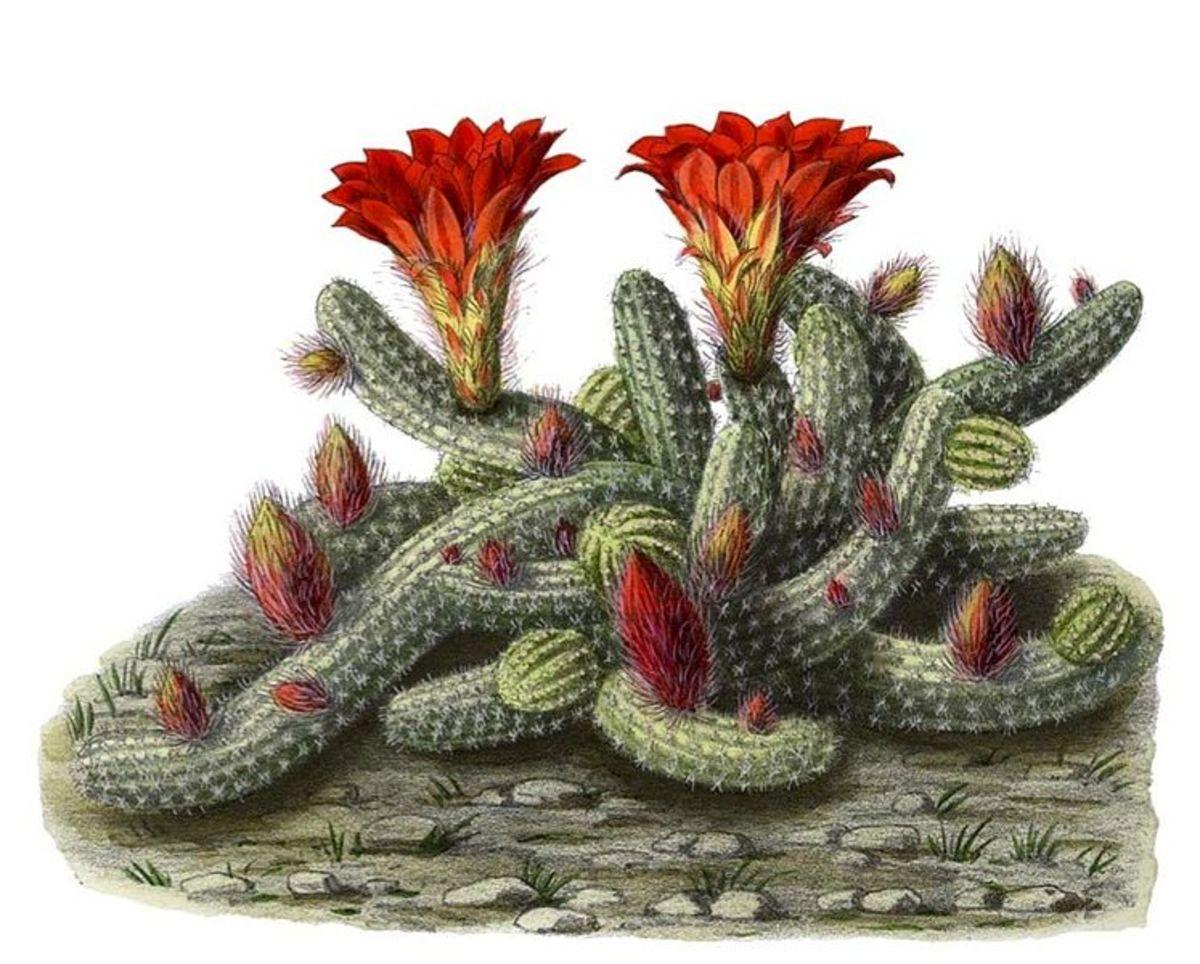 Echinopsis chamaecereus.