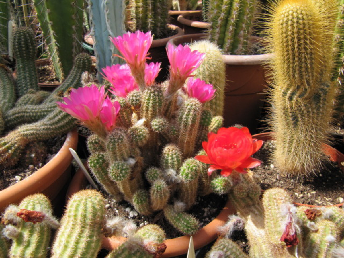 the-peanut-cactus-is-easy-to-grow-and-get-to-bloom