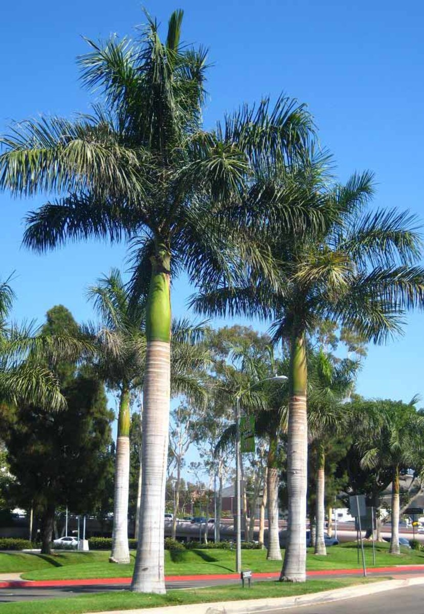 Palm Trees Of The Rio Grande Valley Hubpages