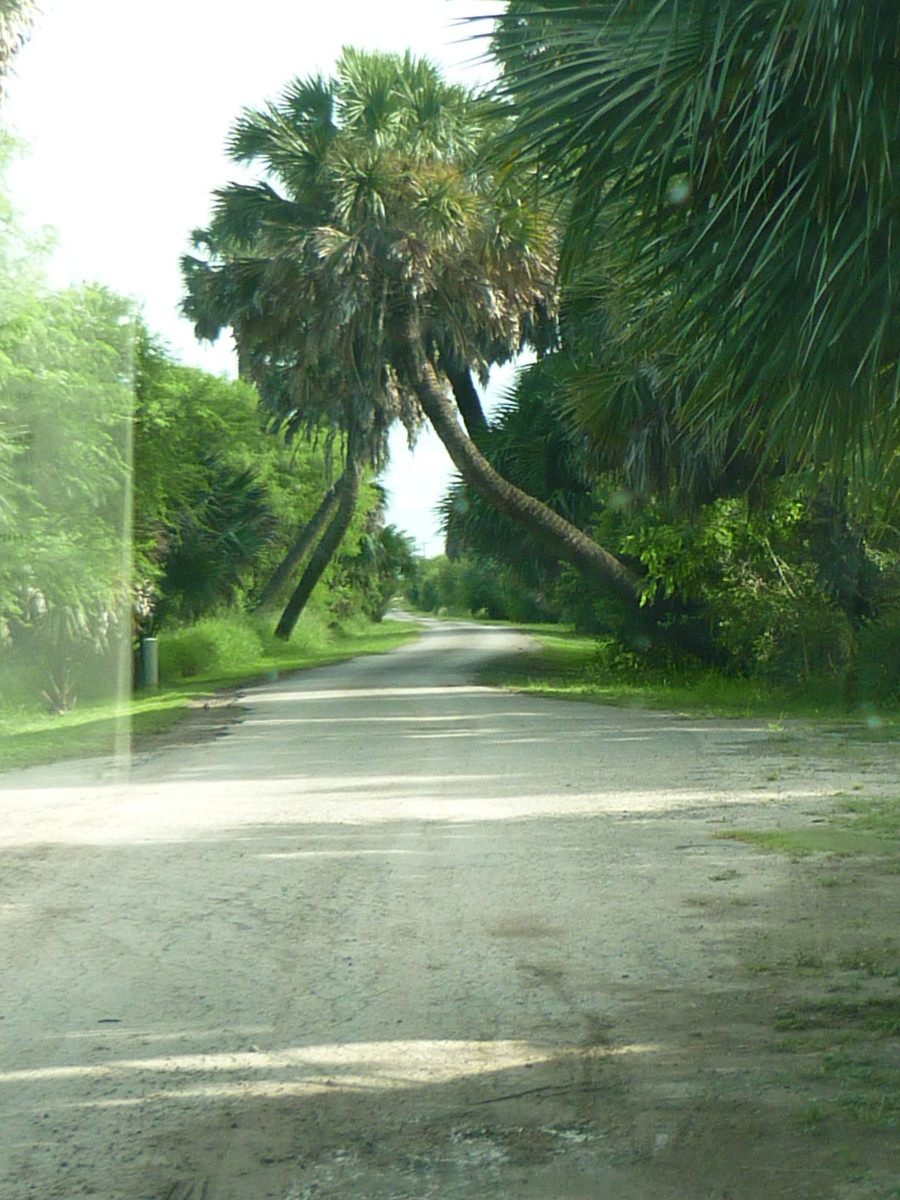 Palm Trees of the Rio Grande Valley