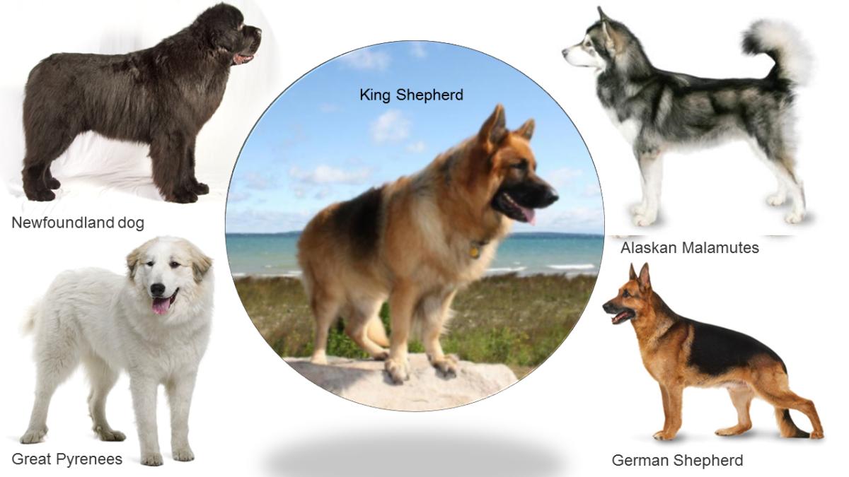 Ansestors of King Shepherd