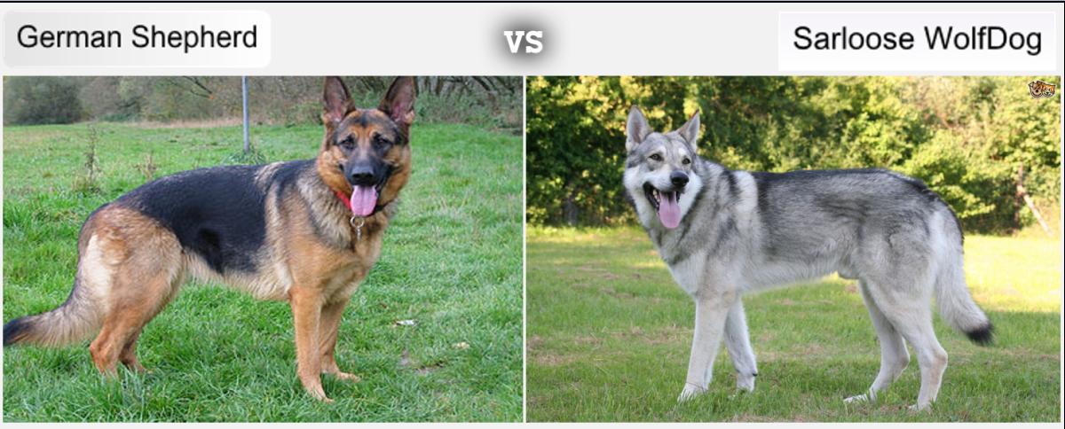 German Shepherds Vs Sarloos Wolf