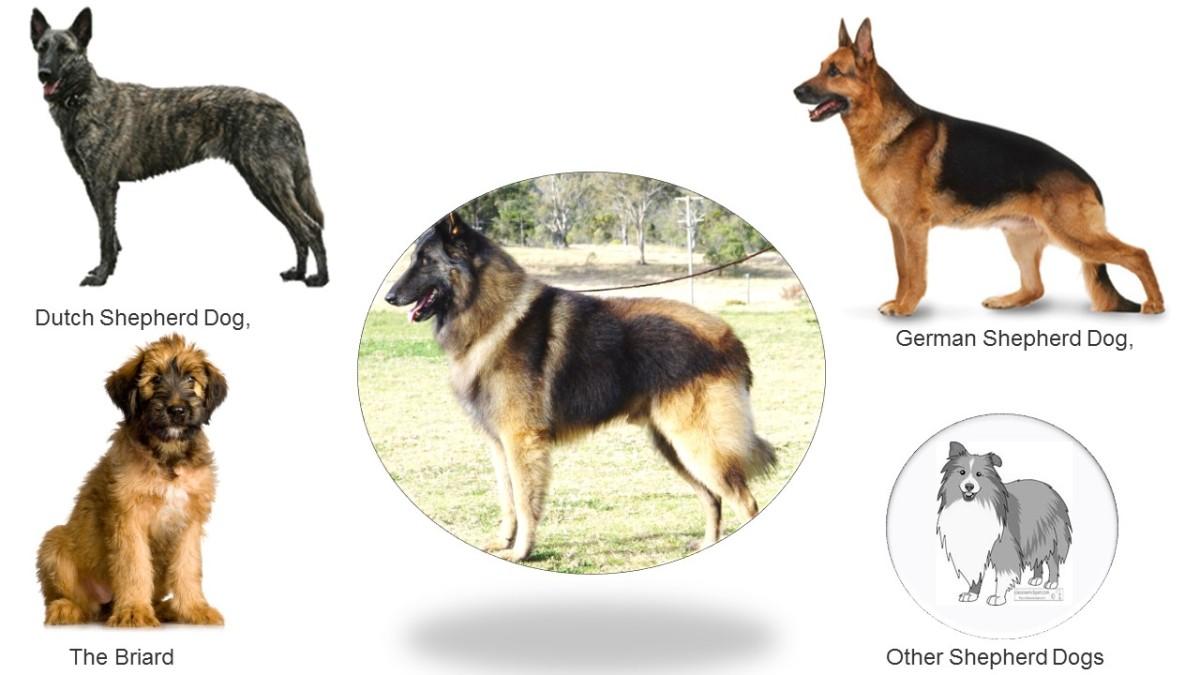 Ansestors of of Belgian Shepherds
