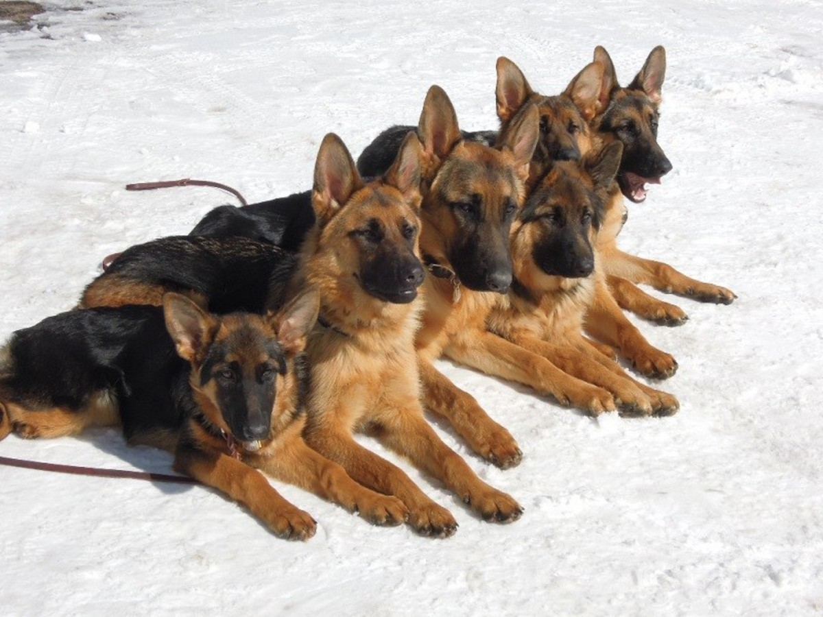 7 Dog Breeds Developed From The German Shepherd S