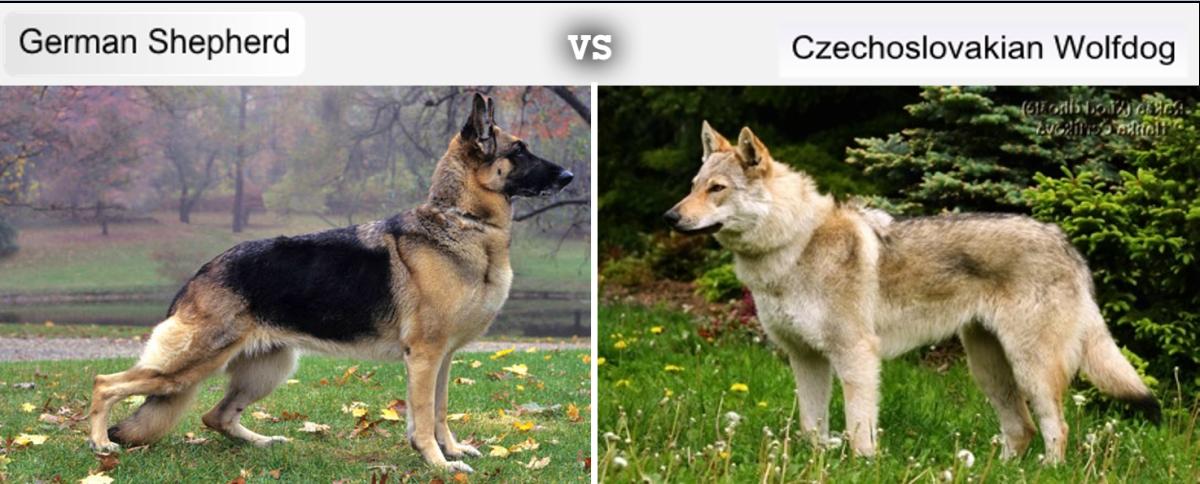 German Shepherd vs Czechoslovakian Wolfdog