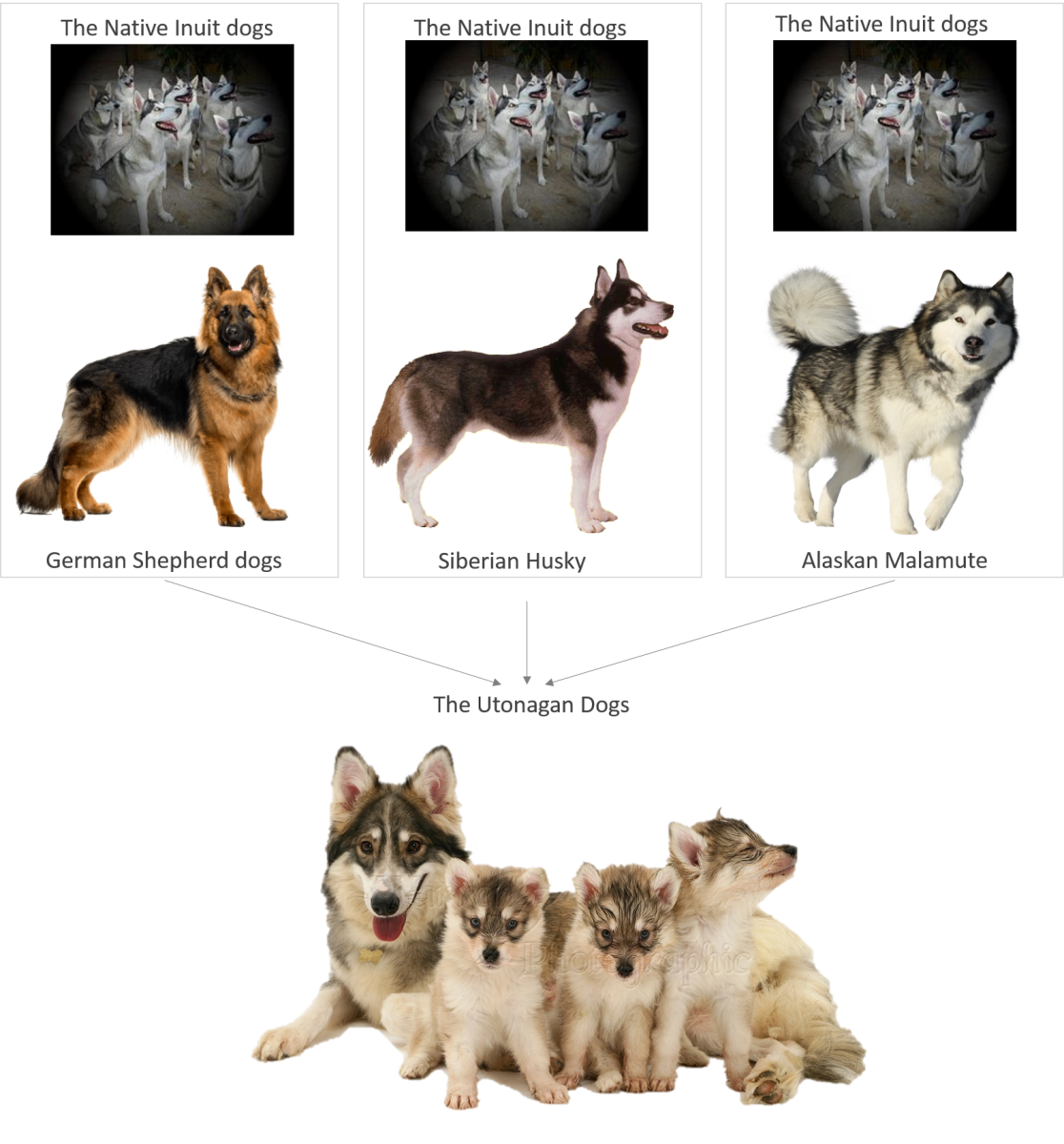 The Utonagan Dog Breed Development