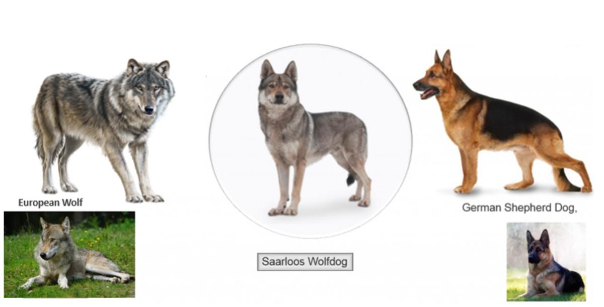 Sarloos Wolf Dog Breed Development