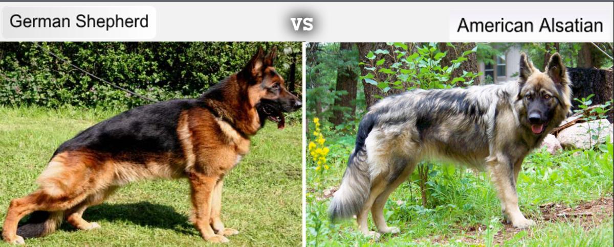 German Shepherd vs American Alsatian