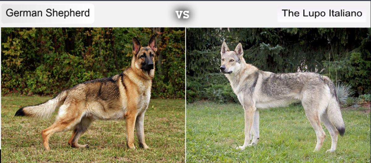 German Shepherd vs The Lupo Italiano