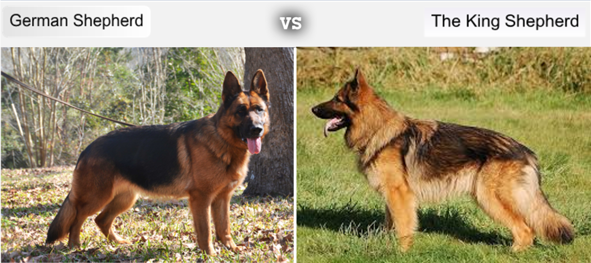 7 Dog Breeds Developed From the German Shepherd's ...