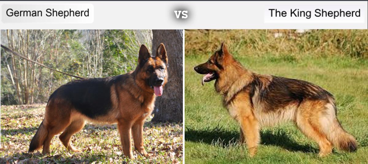 German Shepherd Vs King Shepherd