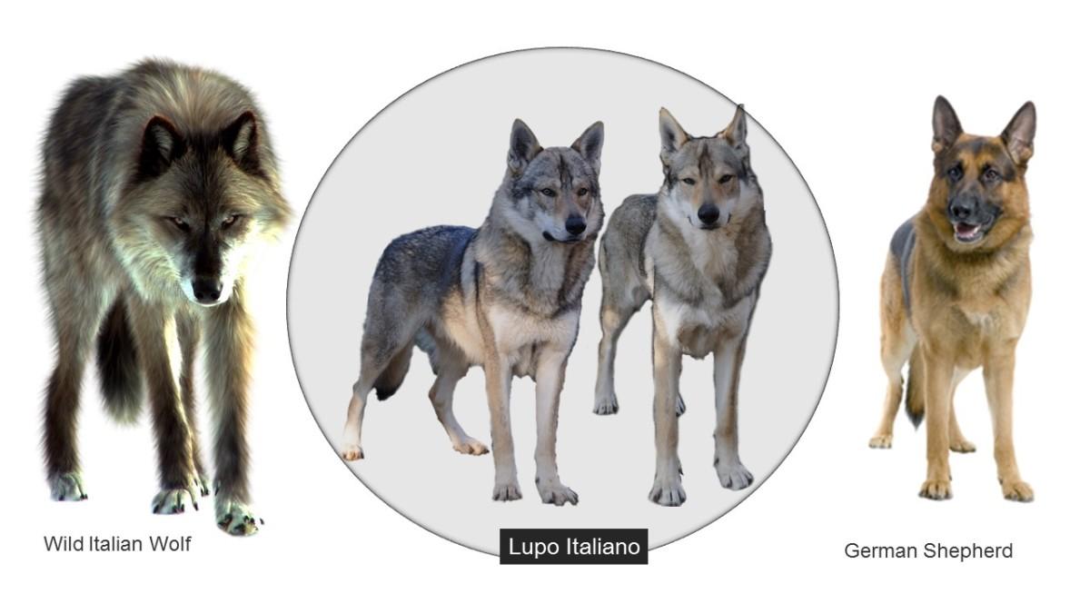 Ansestors of Lupo Italiano