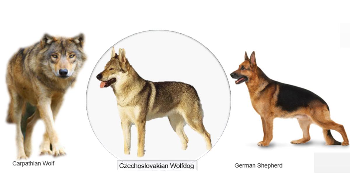 Ansestors of Czechoslovakian Wolfdog