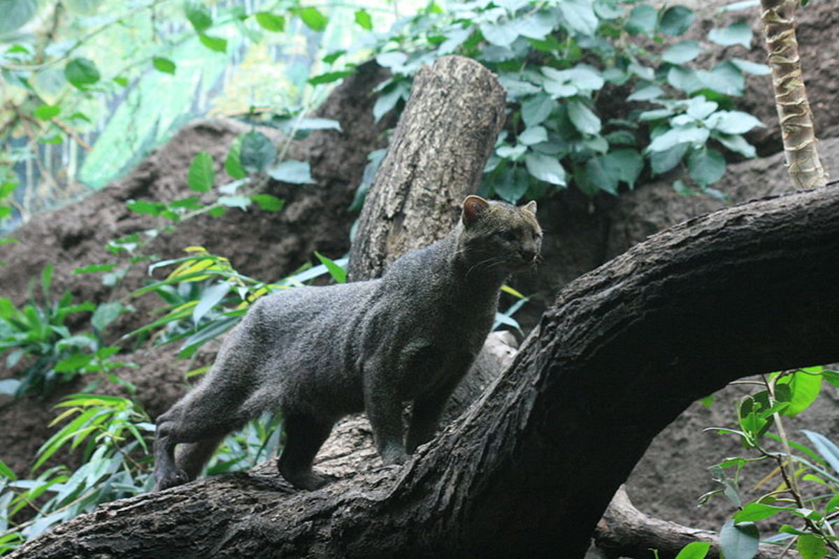 el-gato-colorado-the-jaguarundi