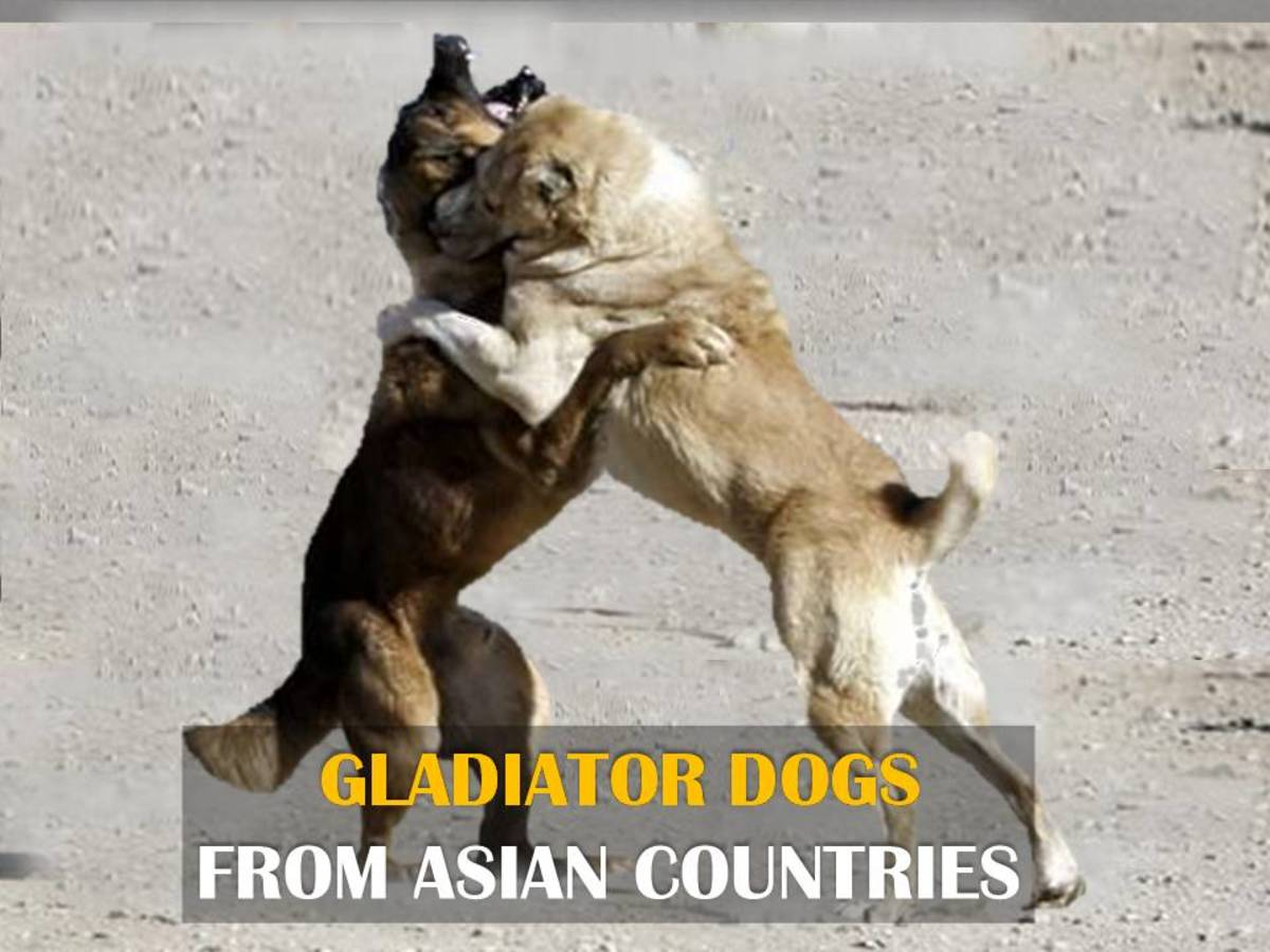 Top 10 Fighting Dogs from Asian Countries | HubPages