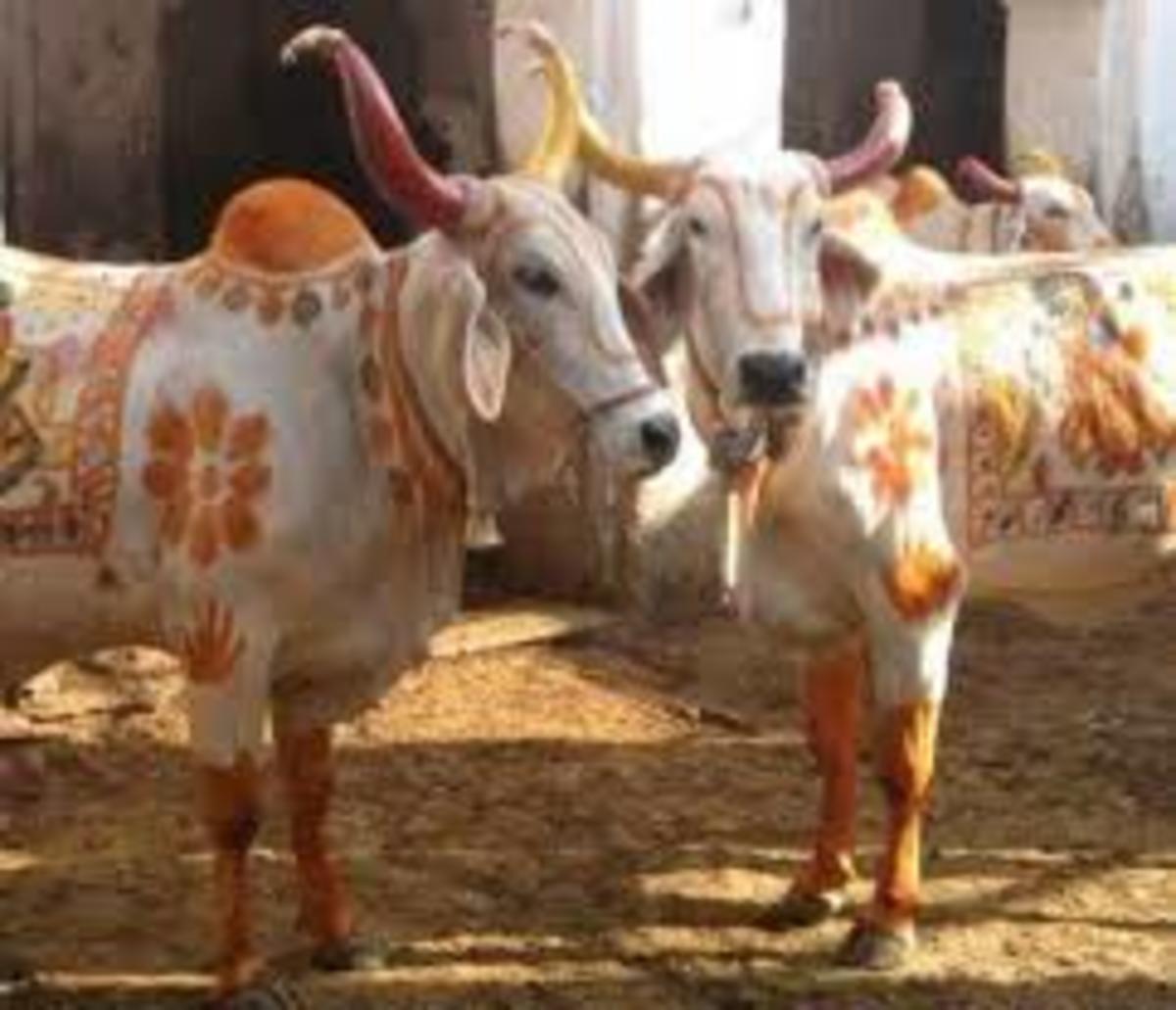 Govardhan Puja (Decorated Bulls)