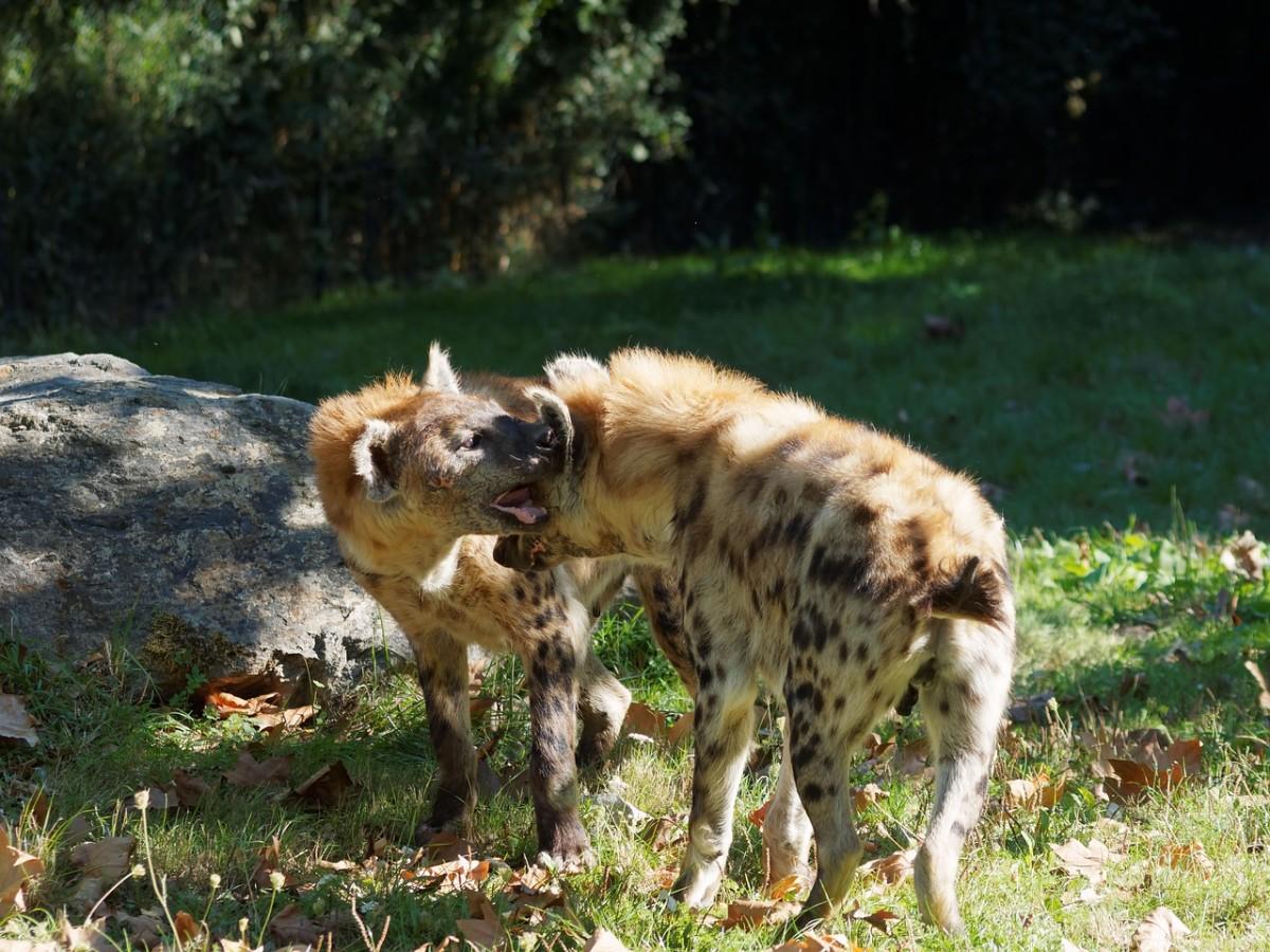 Hyenas laughing