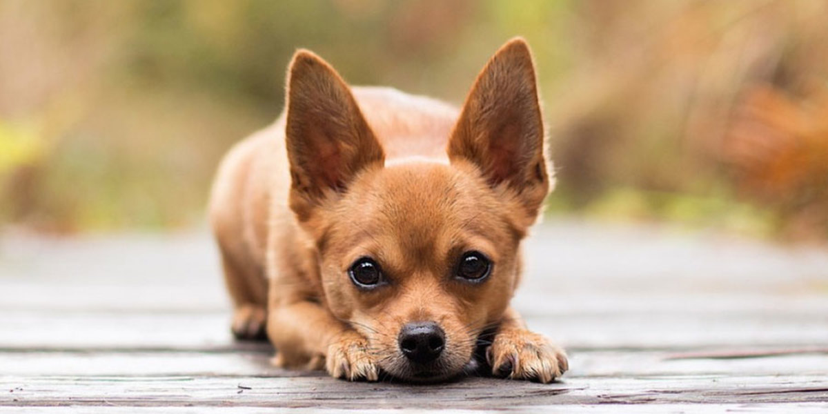 Smallest Dog Breed (Chihuahua)