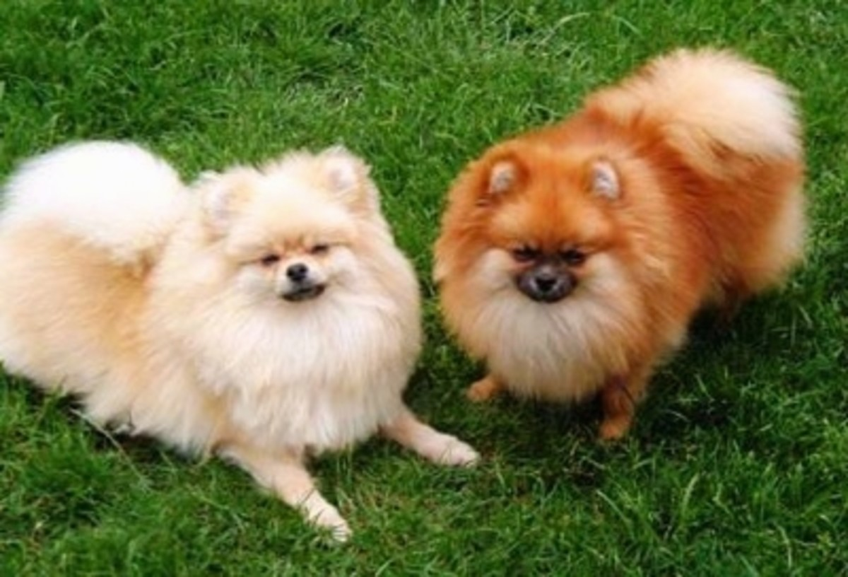 The Smallest Dog Breeds, Pomeranian