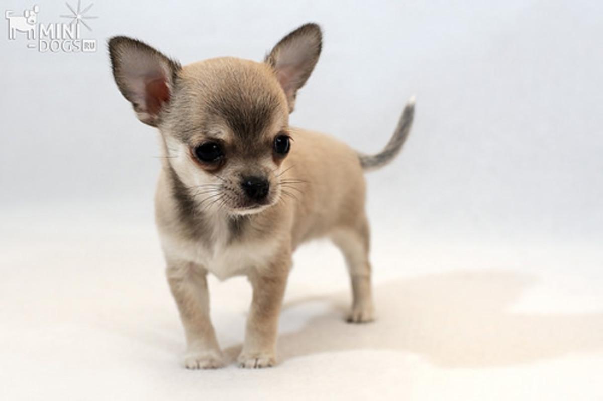 Russian Chihuahua
