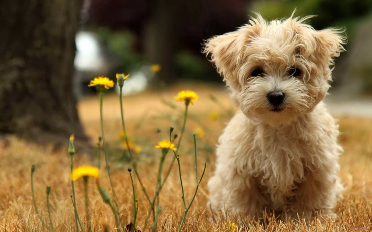 The Smallest Dog Breeds (Maltese)