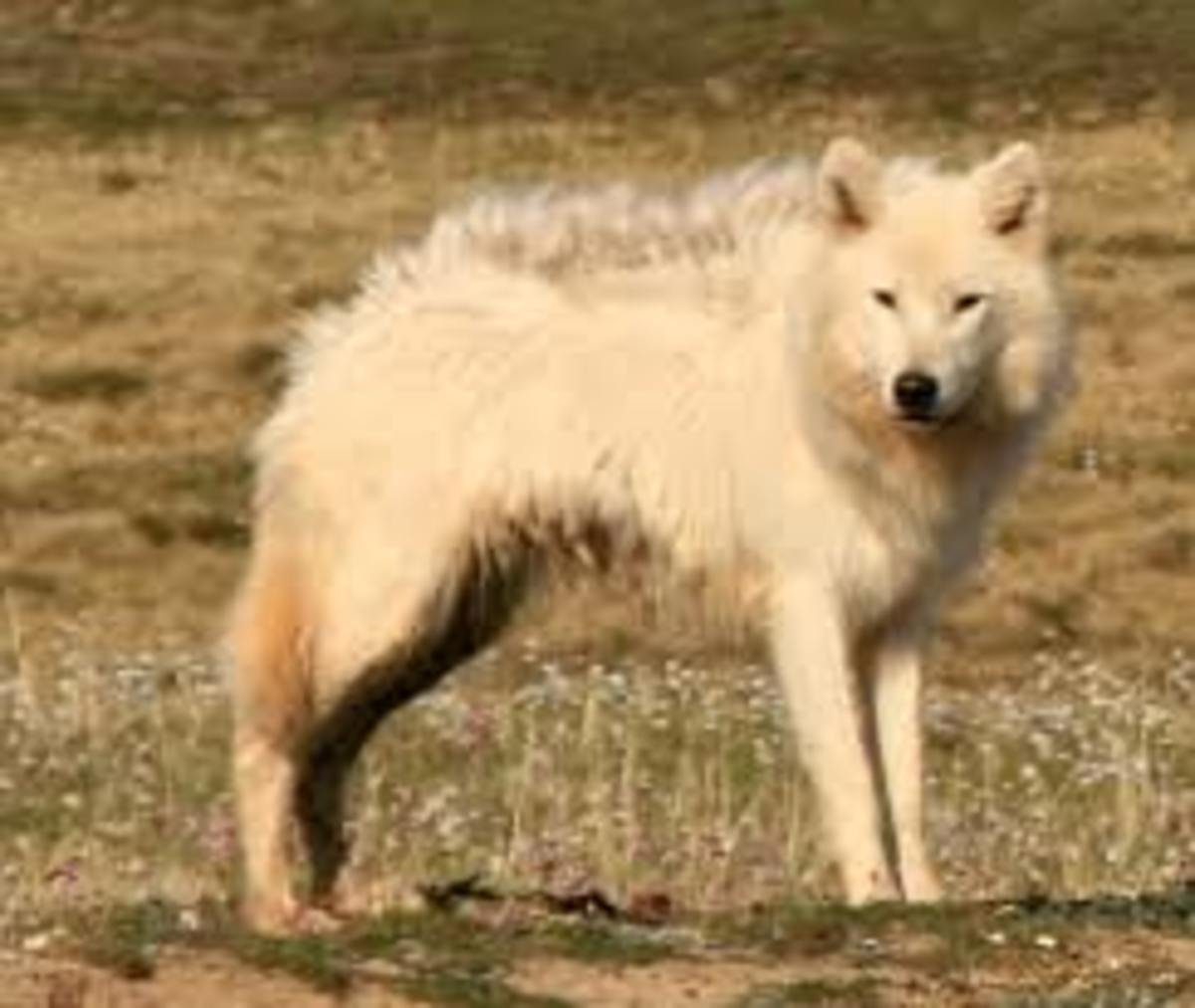 What Bernard's Wolf approximately looked like. This is not a confirmed photo.