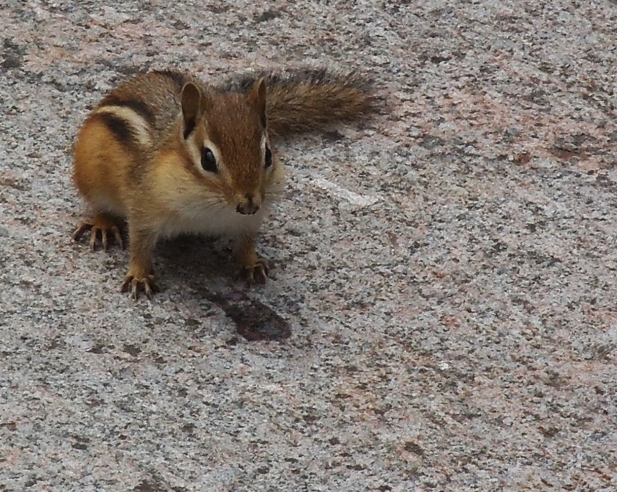 What Damages Can Chipmunks Cause?